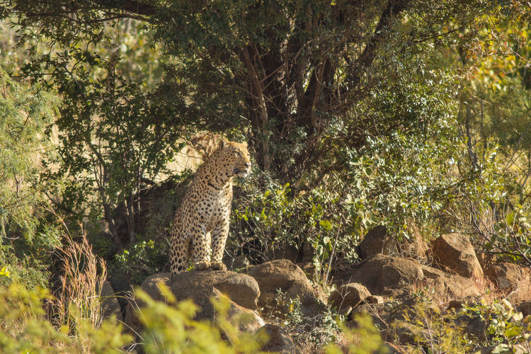 Large male leopard standing on an outcrop watching over his territory Animal Themes Animal Wildlife Animals In The Wild Day Leopard Male Leopard Mammal Nature No People One Animal Outcrop Outdoors Tree Watchful