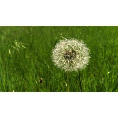 Fragility Nature Flower Dandelion Bokeh Instaexplorer Cityofcapetown Ig_capetown Igerscapetown Spring Springincapetown Random Thoughts Stillness