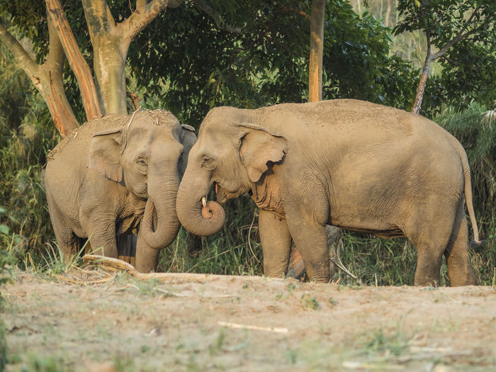 Two elephants against trees