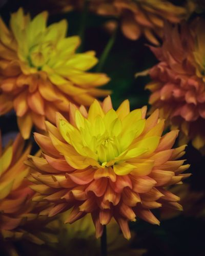 Dahlia Dahlia Flowers Dahlia Flower Background Backgrounds Flowering Plant Plant Flower Vulnerability  Close-up Fragility Beauty In Nature Petal Growth Inflorescence Flower Head Freshness Focus On Foreground Nature No People Day Selective Focus Yellow Outdoors
