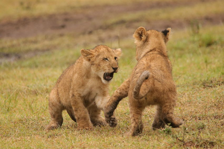 Lion Cubs Playing Animal Themes Animal Wildlife Animals In The Wild Cub Day Grass Lion - Feline Lion Cub Lioness Lions Fighting Lions Playing Mammal Nature No People Outdoors Safari Animals Young Animal