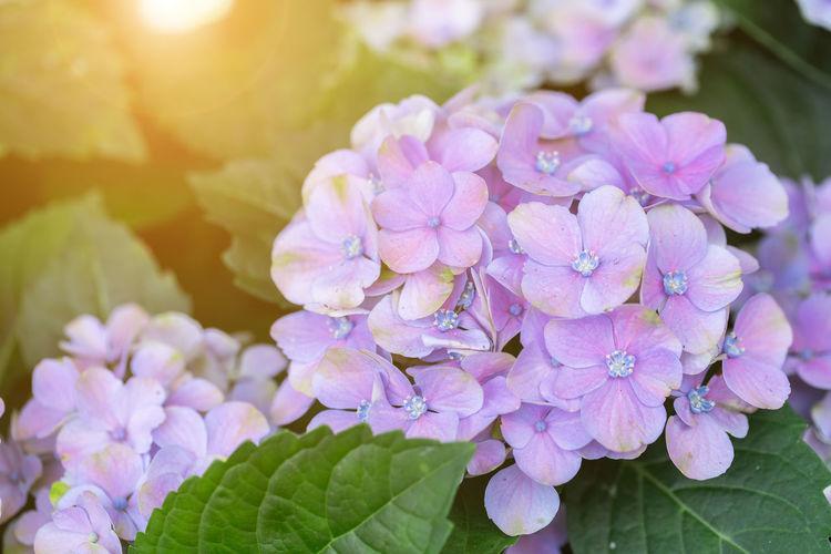 Hydenyia flower