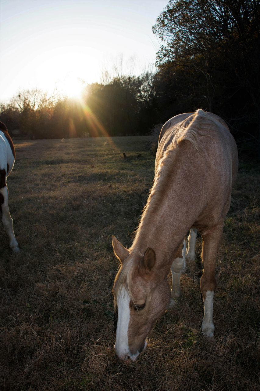 domestic animals, livestock, horse, field, mammal, animal themes, sunset, sunlight, grazing, sun, nature, outdoors, grass, no people, day, tree, sky, beauty in nature