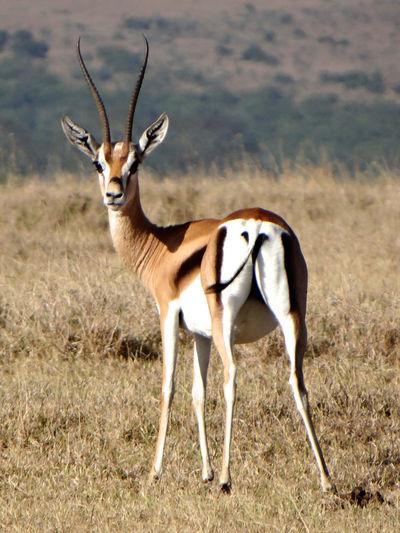 Portrait Of Gazelle Standing On Field In Forest