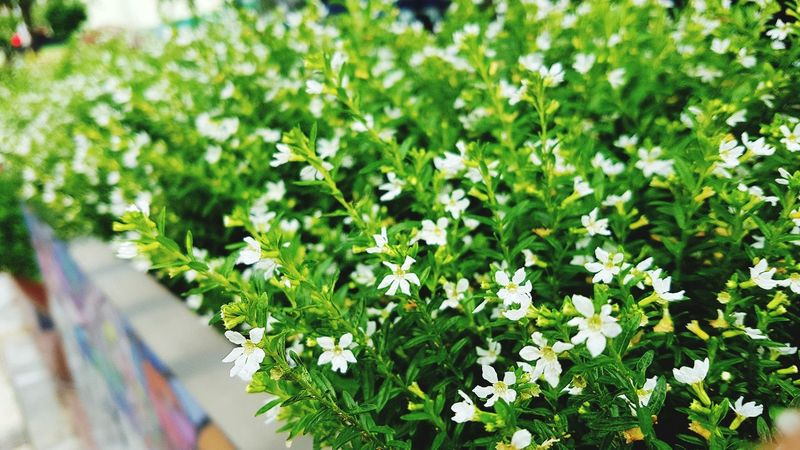 Plant Outdoors Nature Day Growth Green Color Flower Summer Freshness Close-up Multi Colored Beauty In Nature No People Wallpaper The Week On EyeEm Wallpapers Backgrounds Healing Herbs White Color Street Streetphotography EyeEmNewHere