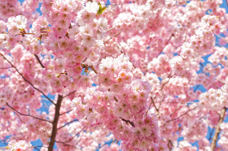 Blooming Flower Head White Spring Beautiful Cherry Blossom