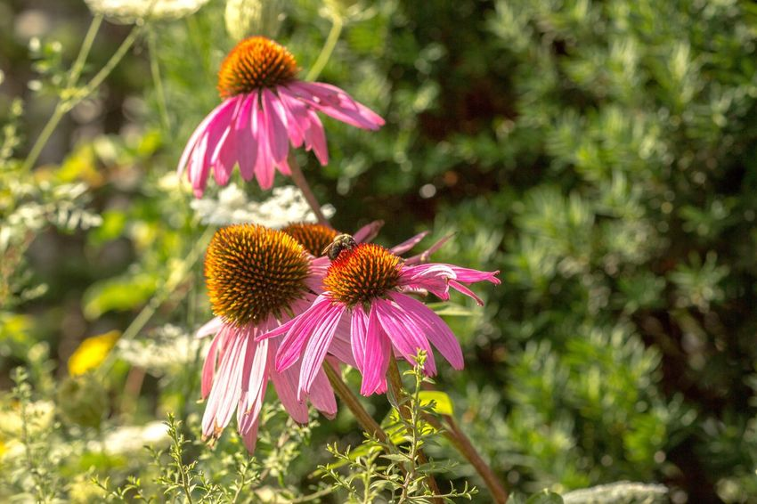 Nature Flower Eastern Purple Coneflower Fragility Coneflower Pink Color Petal Nature Day Focus On Foreground Flower Head Purple Growth Freshness Plant Beauty In Nature No People Blooming Outdoors Close-up