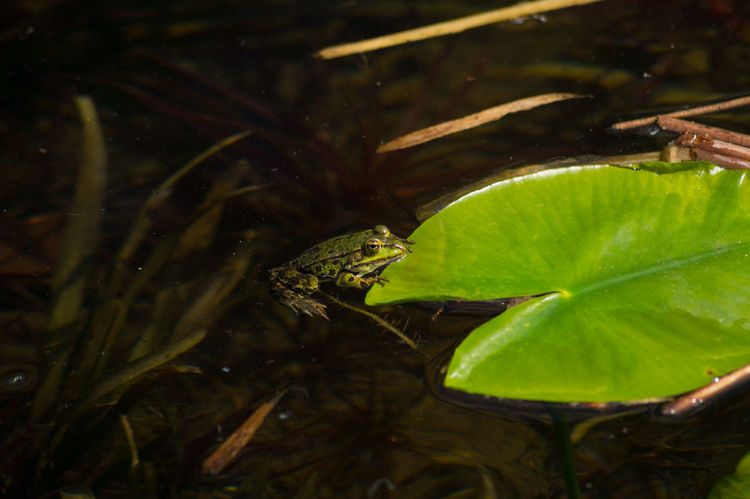 Relaxing Frog Amphibian Beautiful Beauty In Nature EyeEm Best Shots EyeEm Nature Lover EyeEmBestPics Frog Frogs From My Point Of View Frosch Green Green Color Green Color Nature Nature_collection One Animal Pond Pond Life Selective Focus Teichfrosch Things That Are Green Wildlife & Nature
