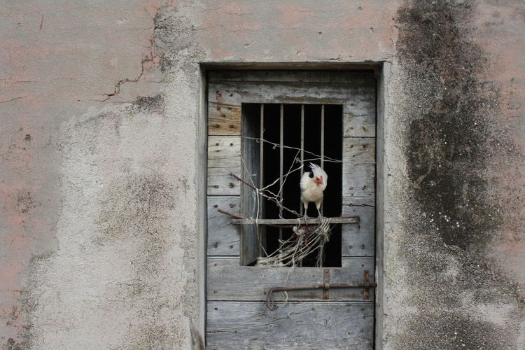 poultry life Birds Poultry Farm Window Architecture Built Structure One Animal Domestic Vertebrate Building Domestic Animals Metal Weathered Building Exterior Wall - Building Feature Old Outdoors No People