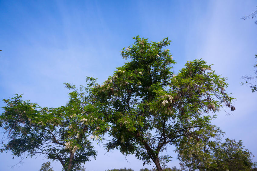 Almighty  Mother Nature 🏞 🖼 📸 Tree Sky Blue Growth Freshness Beauty In Nature Forest Low Angle View Leaf Branch Tall Tree Mother Nature Urban Nature Expanding Save The Planet Green Cop22 Blue Sky Plant Forest Photography Forest Trees Streetphotography