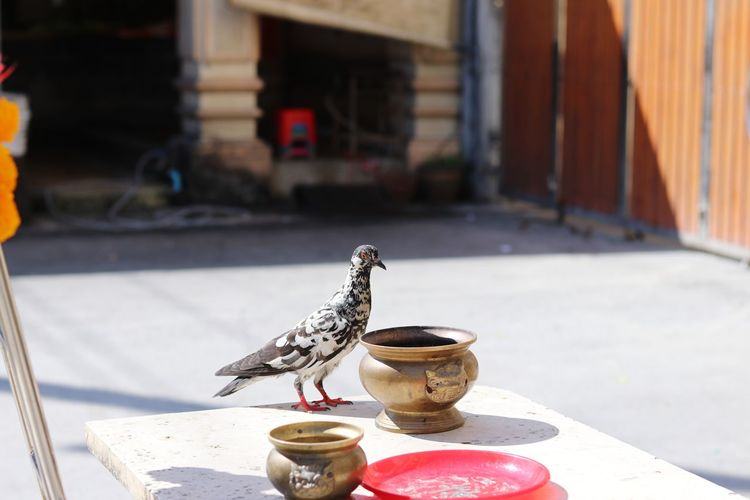 Pigeon perching on table