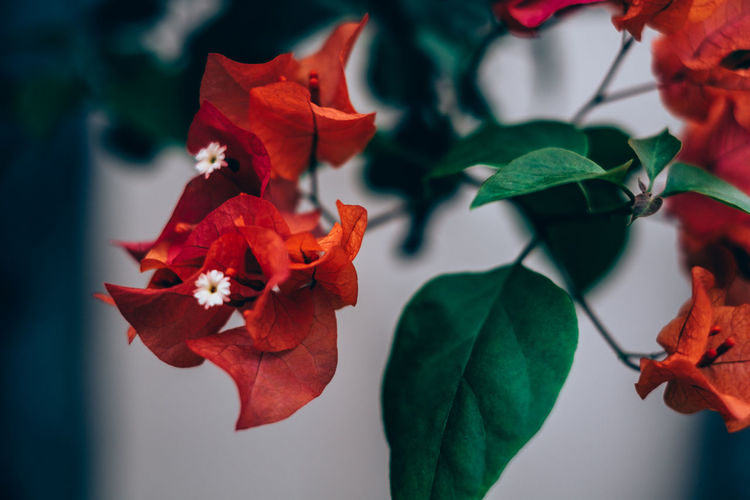 Beauty In Nature Blooming Bougainvillea Bush Close-up Contrast Day Flower Flower Head Fragility Freshness Green Color Green Color Growth Leaf Nature Outdoors Petal Plant Red Red Orange Selective Focus Shrubs Backgrounds Flower Bud