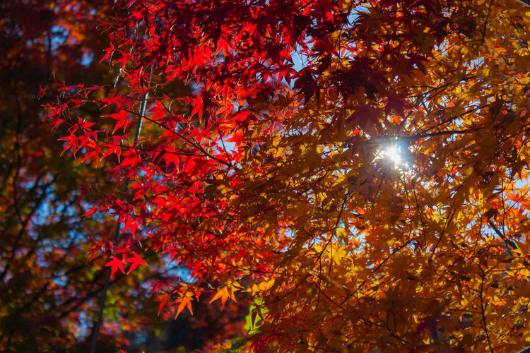 Autumn EyeEmNewHere Japan Nature Red Relaxing Travel Tree Backgrounds Beauty In Nature Branch Change Day Full Frame Leaf No People Orange Color Outdoors Sun Travel Destinations