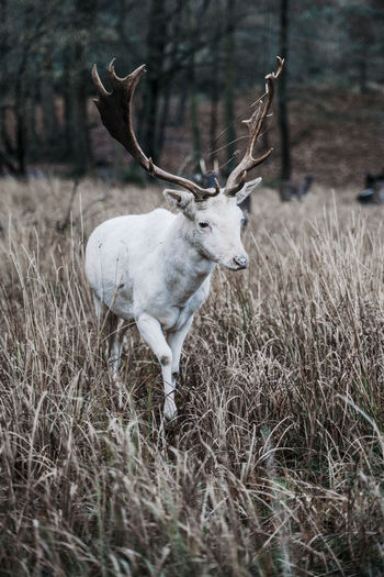 White deer in natural environment White