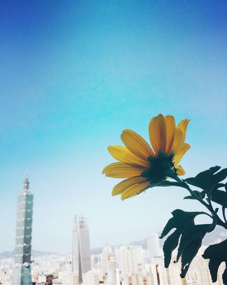Flower Clear Sky Nature City Beauty In Nature Day Sky Skyscraper