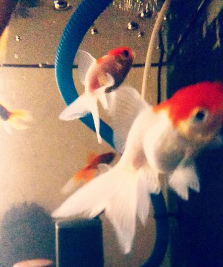 Fishes Goldfish Redcap Goldfish Petfish Colorful shy fishes wouldn't pose :D