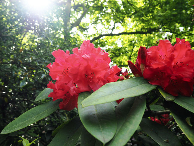 Red bunch under the sunset Growth Nature Beauty In Nature Blossom Bunch Of Flowers Close-up Day Flower Flower Head Flowering Plant Fragility Freshness Inflorescence Leaf Nature No People Outdoors Petal Plant Plant Part Red Springtime Sun Light Sunlight Vulnerability