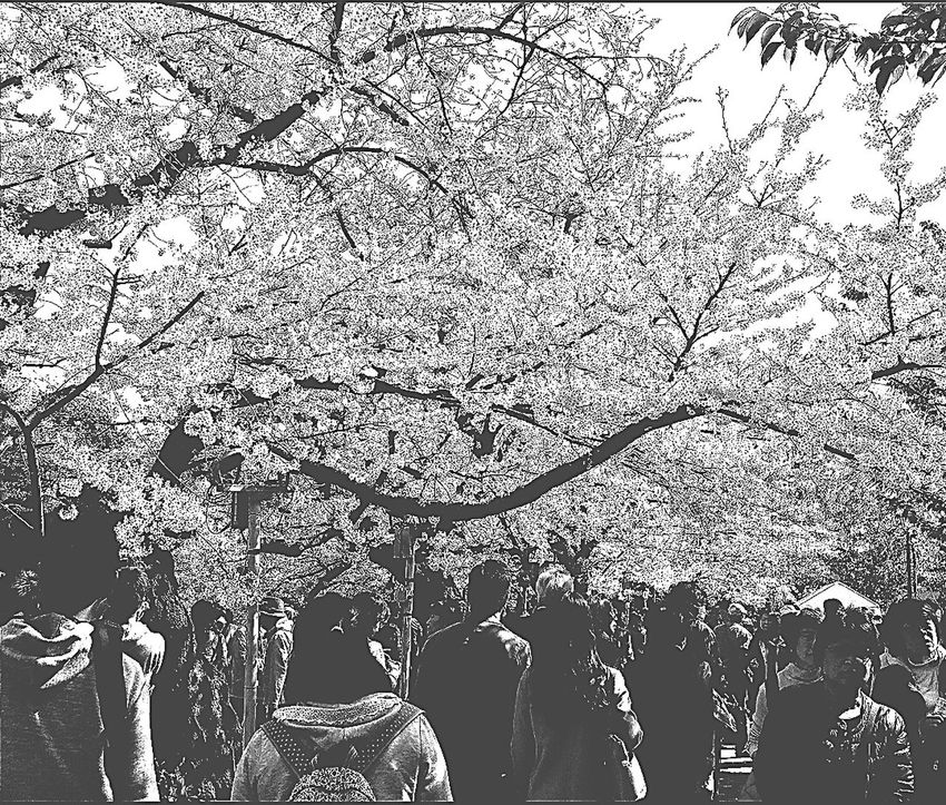 樱花 Sakura Cherry Blossoms Spring 2015 Chidorigafuchi Pedestrian Path Visitors Tokyo Japan Travel Photography