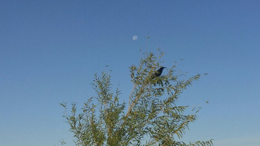 Beauty In Nature Blackbird In Tree Blackbirds Clear Sky Moon Shots Nature No People Outdoors Sky Tree Tree And Sky