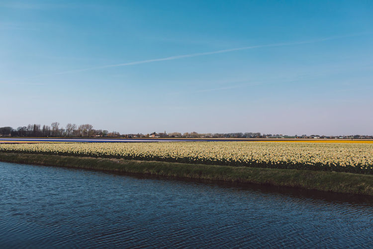 Narcissus Sky Tranquility Scenics - Nature Beauty In Nature Tranquil Scene Landscape Field Plant Land Blue Rural Scene Environment Agriculture Nature Growth No People Idyllic Day Farm Clear Sky Outdoors
