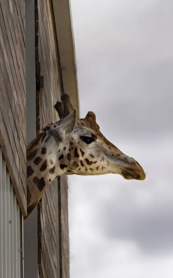 Boo! Giraffe Animal Animal Body Part Animal Head  Animal Neck Animal Portrait Animal Themes Animal Wildlife Animals In The Wild Architecture Day Giraffe Herbivorous Looking Looking Up Low Angle View Mammal Nature No People One Animal Outdoors Portrait Safari Sky