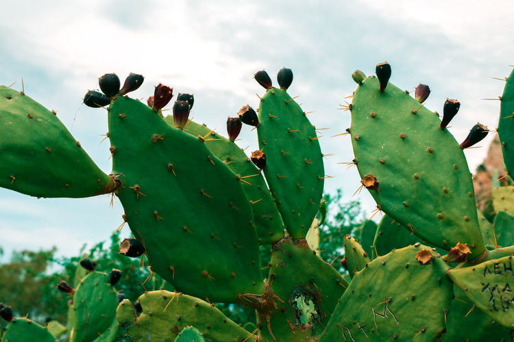 Close-up of succulent plant growing on cactus against sky