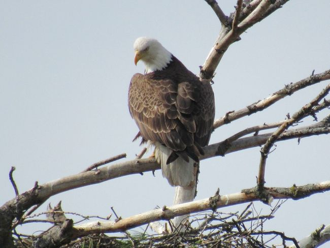 EyeEm Selects Bald Eagle and Eaglet Bird Animal Wildlife Animals In The Wild Bald Eagle Branch Tree Bird Of Prey Animal Perching Low Angle View Nature Beauty In Nature Outdoors No People Day Sky Eaglet Nest