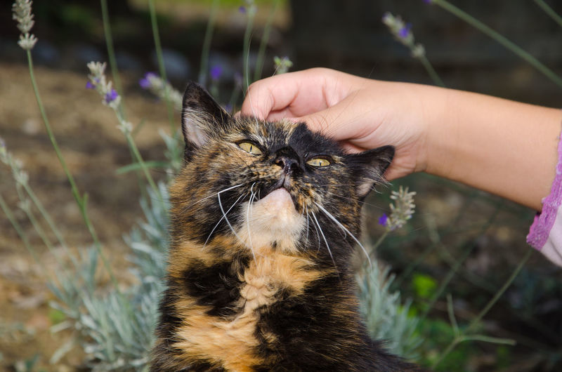 Pet therapy with european calico cat Calico European Cat Animal Animal Themes Calico Cat Care Caressing Caressing Cat Cat Domestic Domestic Animals Domestic Cat Feline Hand Human Body Part Human Hand Mammal One Animal Pet Pet Owner Pet Therapy Pets Portrait Wallpaper Whisker