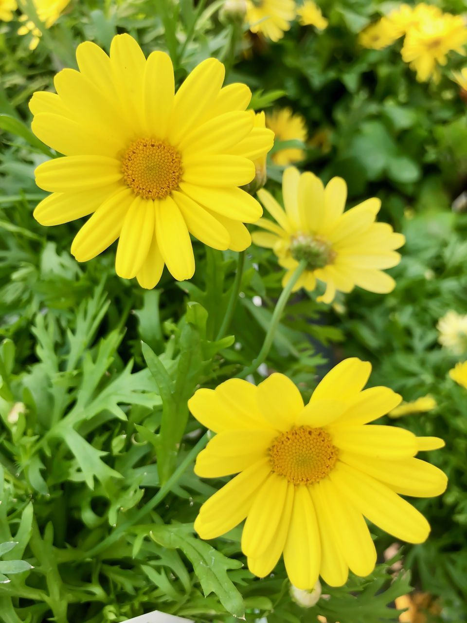 CLOSE-UP OF YELLOW FLOWERS ON FIELD