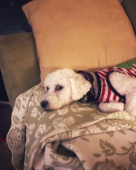 Dog sleeping on sofa at home