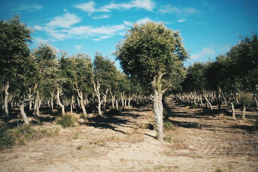 Rural Landscape Olive Trees Trees Landscape Photography