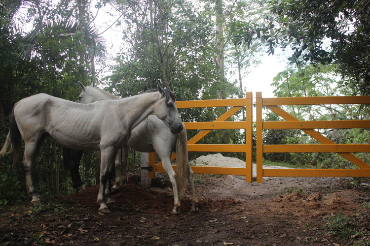 White hors3s in front of the farm's fence country view