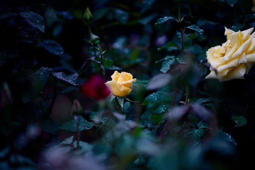 そう言った理由で、またもやバラ。 Rose🌹 Roses Flower Rose Garden Hi! Fukuyama 福山 バラ祭り