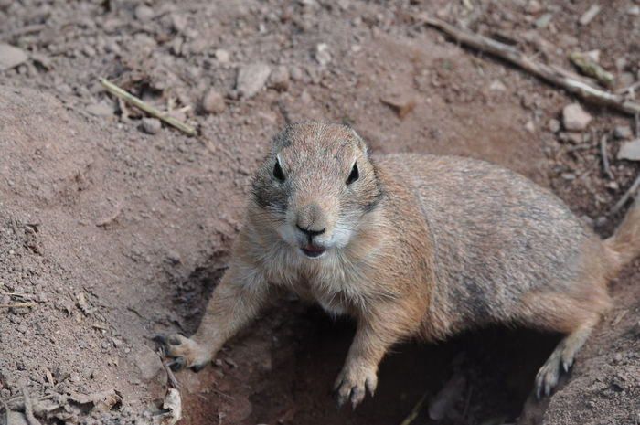Ground squirrel is watching and posing Alone Animal Themes Animal Wildlife Animals In The Wild Calm Close-up Cute Day Digging A Hole  Dirt Erdmännchen, Field Fur Ground Squirrel Kleines Tier Little Looking Mammal Nature No People One Animal Outdoors Small Animal Watching Wildlife