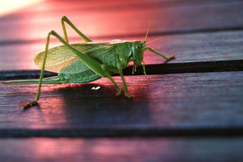 кузнечик Grasshopper Nature First Eyeem Photo