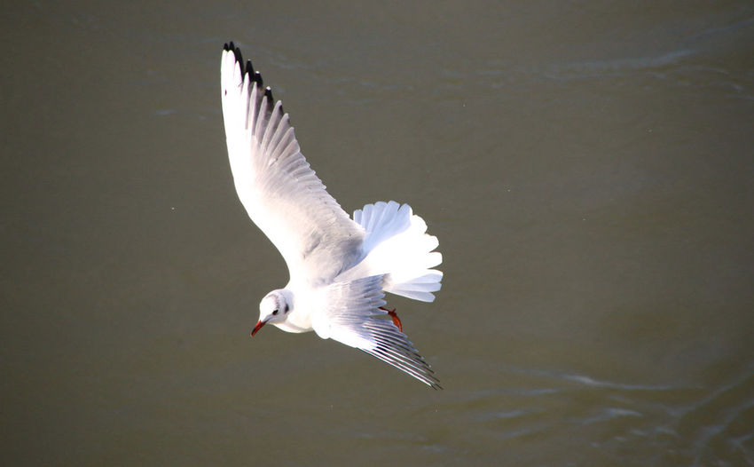 High angle of flying seagull with water in background