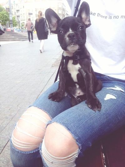 Buldogfrancuski Frenchbulldog Bulldog Pies Dog Półwiejska