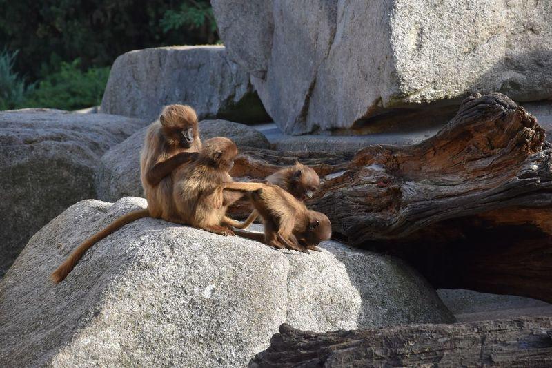 Ape Rock Solid