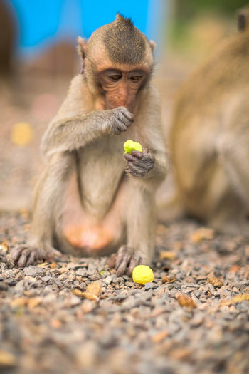Lion eating fruit