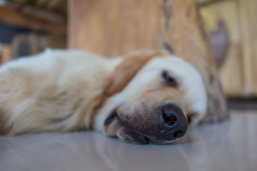 Dog in Canggu, Indonesia Animal Animal Body Part Animal Head  Animal Themes Canine Close-up Dog Domestic Domestic Animals Eyes Closed  Indoors  Lying Down Mammal Napping No People One Animal Pets Relaxation Resting Selective Focus Sleeping Vertebrate