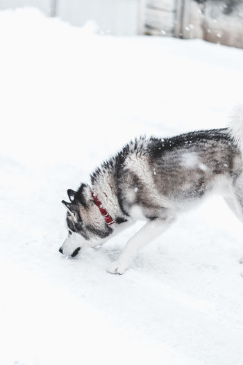 Husky Snow Cold Temperature Winter One Animal Animal Themes Animal Mammal Pets Domestic Animals White Color Domestic Nature Day Field Canine Dog Covering Vertebrate Land No People Outdoors Snowing Powder Snow