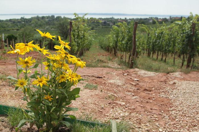 Badacsony Balaton Flowers Grapes Green Hungary Lake Balaton Wine Wineyard
