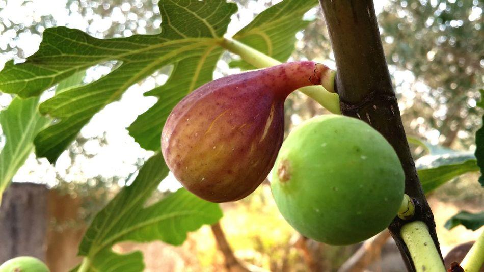 Figs Latakia  Lattakia Latakiacountryside Fruits Summer Summer End تين اللاذقية اللادئية