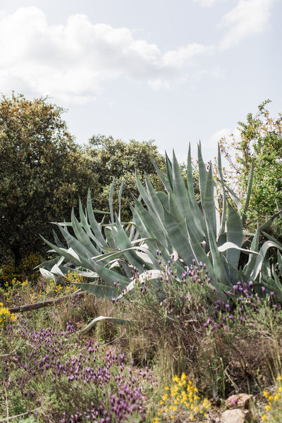 Agavoideae Fleshy Leaves Agave Leaf Asparagaceae Asparagales Cactus Nature Portugal Succulents Agave Agave Americana Agave Fields Agave Flower Agave Plant Agaves Alentejo Cactus Collection Field Freshness Growth Monocot Nature_collection Perennial Succulent Plant Tranquil Scene