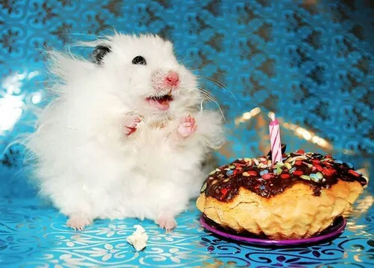 The Happiest Hamster. Enjoying Life Cheese! Syrian Hamster  Cute Pets Hamster Love Cuteness