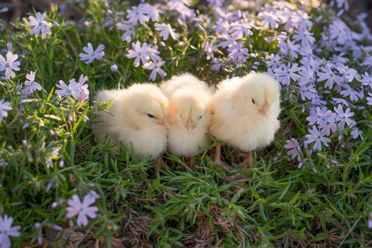 Farm Animals Animal Baby Chicks Bird Domestic Animals Group Of Animals Groups Of Animals Livestock Yellow