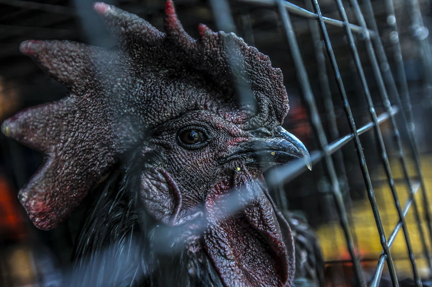 Close up. Selective focus. The head of the male forest chicken looks different with a black face in the cage. Animal Head  Animal Themes Beak Bird Cage Close-up Day Focus On Foreground Nature No People One Animal Outdoors Portrait Trapped