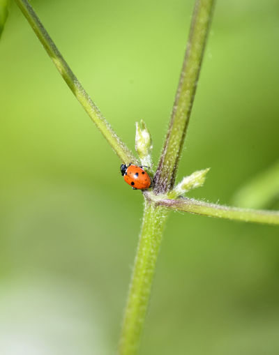 Ladybug in the green plant . bugs and insects world. Nature in spring concept.blurred background Ladybug Lady Bug Insect Nature Bug Lady Beetle Close Grass Green Ladybird Leaf Macro Natural Red Spring White Wildlife Animal Blur Background Beautiful Beauty Biology Blade Bright Closeup Color Cute Field Freedom Fresh Garden Lawn Love Meadow Morning Plant Season  Small Summer Sun Sweet Vibrant Young Alone Close-up Floral Lady-bird Loneliness Animals One Animal Invertebrate Animal Wildlife Animals In The Wild Animal Themes Green Color Focus On Foreground Growth Day No People Selective Focus Beauty In Nature Plant Stem Outdoors Blade Of Grass