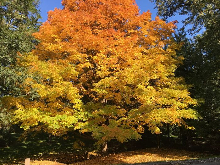Golden tree Gold Leafing Plant Tree Beauty In Nature Growth Nature No People Tranquility Autumn Yellow Scenics - Nature Sunlight