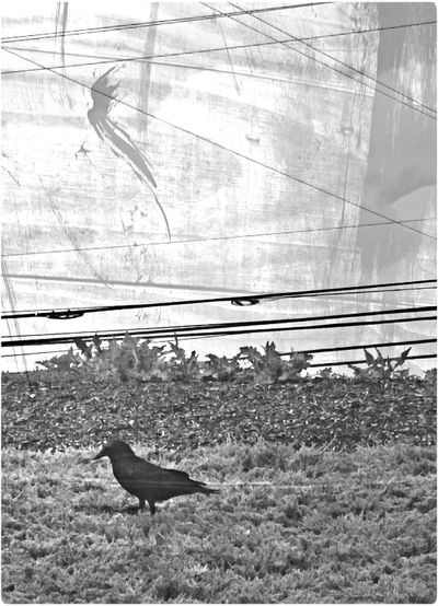 Crows Alone On Blackened Wood Shades Of Grey Bird Wall Art No Edit No Fun Blackandwhite Black And White Black&white Blackandwhite Photography